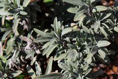 Sage in the garden royalty free stock photography