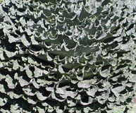 Sage Green Ornamental Cabbage Leaves-Background Stock Image