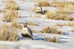 Sage Grouse In Afternoon Sun-Detail stock afbeeldingen