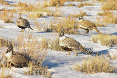 Sage Grouse In Afternoon Sun Multiple. Winter Scene Stock Photos