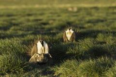 Sage Grouse que acopla-se em um lek na luz solar dourada da manhã Imagens de Stock Royalty Free