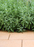 Sage is hardy evergreen perennial Stock Images