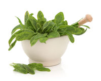 Sage Herb Royalty Free Stock Photography