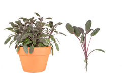 Sage Herb. Herb purple sage growing in a terracotta pot with a specimen leaf sprig over white background royalty free stock image