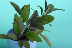 Sage herb. Flavorful and aromatic sage herb against blue background royalty free stock image