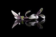 Sage herb on black background. Royalty Free Stock Photo