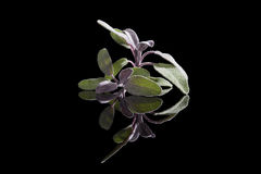 Sage herb on black background. royalty free stock photos