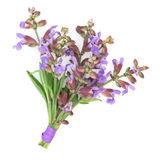 Sage Herb Flower Posy. Tied with a purple ribbon isolated over white background. Salvia stock photo