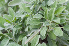 Sage in a herb garden Stock Image