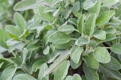 Sage in a herb garden Stock Image