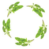 Sage Herb Garland Royalty Free Stock Photo