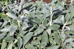Sage herb growing in land Royalty Free Stock Photography