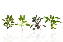 Sage Herb Leaf Varieties Royalty Free Stock Image
