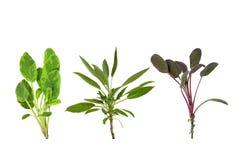 Sage Herb Leaf Variety. Sage herb leaf specimens isolated over white background royalty free stock images