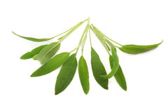 Sage Herb Leaves Royalty Free Stock Photos