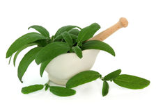 Sage Herb Leaves. Fresh sage leaf sprigs in a stone mortar with pestle over white background stock image