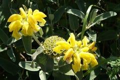 Sage. Herb. Phlomis. Jerusalem sage. Lampwick plant royalty free stock images