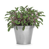 Sage Herb Plant. Purple sage herb plant growing in a distressed pewter pot and scattered, isolated over white background. Salvia stock photography