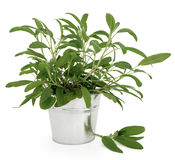Sage Herb Plant Royalty Free Stock Images