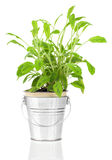 Sage herb plant growing in a distressed pewter pot Royalty Free Stock Photos