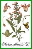 Sage herbal Royalty Free Stock Image