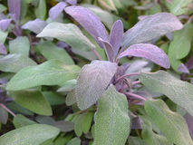 Sage. Image of sage plants in a natural garden stock photo