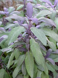 Sage. Image of sage plants in a natural garden stock photos