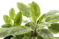 Sage isolated on white background Royalty Free Stock Photography
