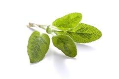 Sage isolated on white background Stock Photos