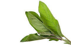 Sage. Sage isolated on white background, spices Stock Images