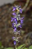 Sage Latin name salvia Indigo Spires. Flowers Stock Image
