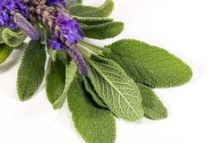 Sage and Lavender. A sprig of fresh sage and blooming lavender on white background Stock Photography