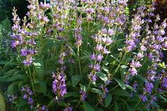 Sage Lavender Herbs e spezie fotografia stock libera da diritti