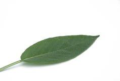 Sage leaf 06 Royalty Free Stock Photo