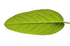 Sage leaf Stock Photos