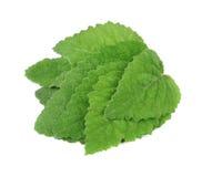 Sage leaf Royalty Free Stock Image