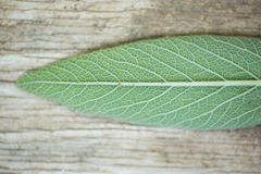 Sage leaf Royalty Free Stock Photography