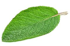 Sage leaf. On white background Stock Photography