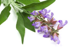 Sage leafs and flowers Stock Photography