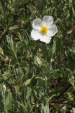 Sage-leaved Cistus Royalty Free Stock Photos