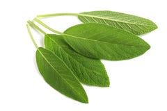 Sage Leaves Imagem de Stock Royalty Free