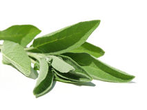 Sage leaves Royalty Free Stock Images