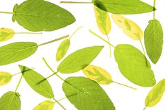 Sage leaves. Green and yellow sage leaves of different species Royalty Free Stock Image