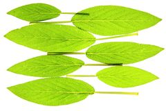 Sage leaves. Before white background Royalty Free Stock Photography