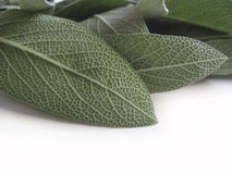Sage leaves. Fresh sage leaves on white background royalty free stock images