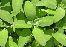 Sage leaves. Fresh sage leaves (Salvia officinale) in the sunlight Royalty Free Stock Photos