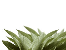 Sage leaves background Royalty Free Stock Images
