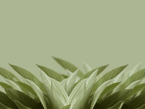 Sage leaves background. Fresh sage leaves on colored background stock photos