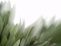 Sage leaves background Stock Photo