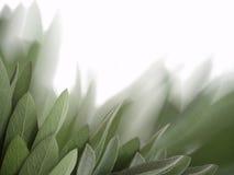 Sage leaves background Stock Photo